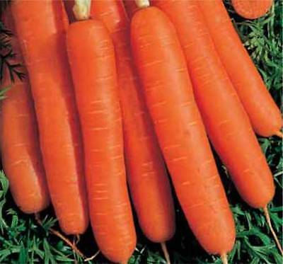 Carrot - Early Nantes 2 - 3 Gram ~ Approx 2430 Finest Seeds ** Free Uk P&p**