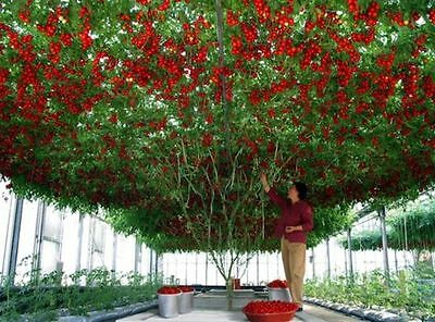 TOMATO 'Giant Tree' 15+ seeds *RARE* HUGE vine LONG HARVEST Italian HEIRLOOM