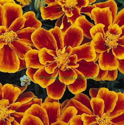 Flower Marigold Dwarf French Durango Flame 0.2Gm Approx 70 Seeds