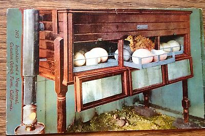 PC POSTCARD Old Incubater With Eggs Ostrich Chick Cawston Ca 1918