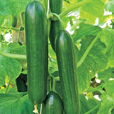 Cucumber  Beth Alpha F1 - 110 Finest Seeds