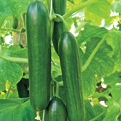 Cucumber  Beth Alpha F1 - 160 Finest Seeds