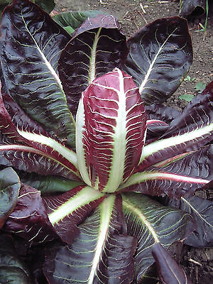 Vegetable  Chicory  Red / Rossa Di Treviso 4 (Early)  7 Gram  ~ 6300 Seeds