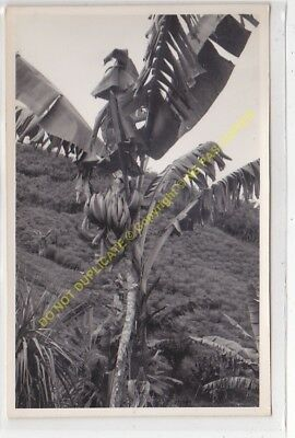 RPPC carte photo MADAGASCAR culture bananier  n2