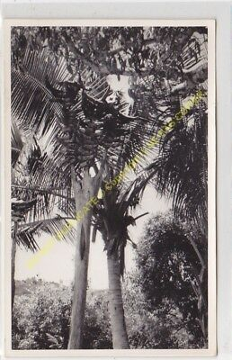 RPPC carte photo MADAGASCAR culture bananier  n3