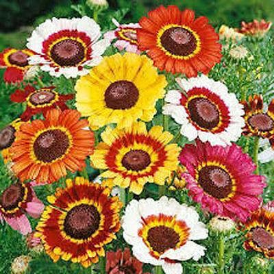 Painted Daisy,organic 50+ Seeds, Beautiful Mulit Colored Blooms.