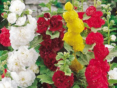 Perennial Flower Hollyhock Summer Carnival Mixed 220 Flower Seeds