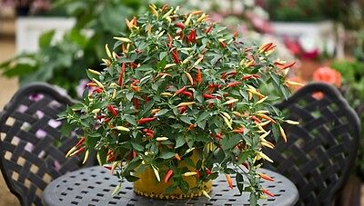 Vegetable  Hot Chilli Pepper Basket Of Fire F1  10 Finest Seeds