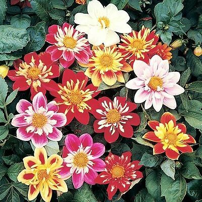 Flower Dahlia Dwarf Dandy 2.5 Gram ~ Approx 312 Seeds