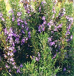"""'Tuscan Blue' Rosemary Plant - Inside or Out - Easy to Grow - 3""""  Pot"""