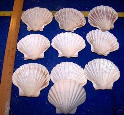 25  LARGE BAKING SCALLOP CLAMS  SEAFOOD COOKING SHELLS