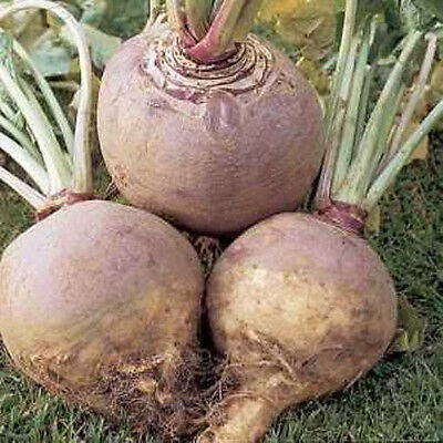SWEDE 'Purple Top' 150 seeds vegetable garden Autumn winter root EASY TO GROW