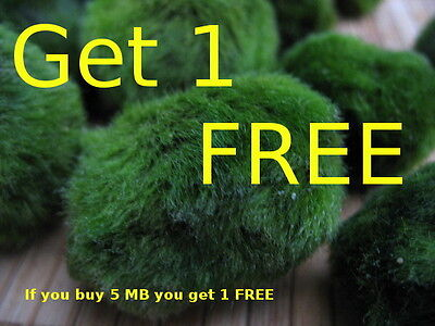 Marimo Japan Moss Ball Live  Aquarium Plants  if you buy 5 mb you GET 1 FREE