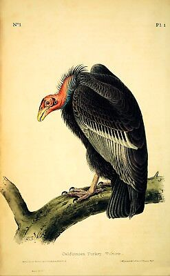 Californian Turkey Vulture by John J. Audubon Giclee Print Repro on Canvas