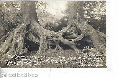 RPPC-World's Largest Octopus Tree,Trees of Mystery-Redwood Highway