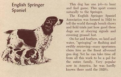 English Springer Spaniel - Vintage Dog Print - 1954 M. Dennis