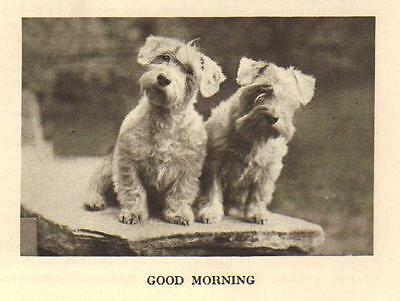 "* Sealyham Terrier ""P"" - 1931 Vintage Dog Print - MATTED"