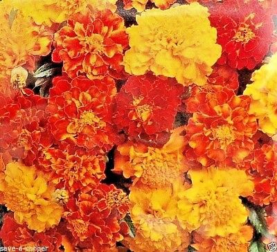 Marigold - French Dwarf Double Mixed -  50 High Quality Flower Seeds