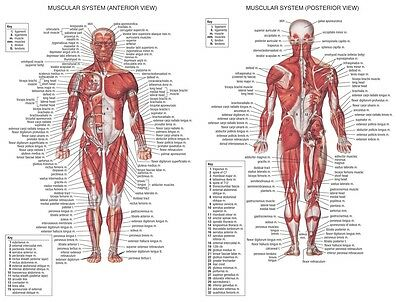 "Human Body Anatomical Chart Muscular System Fabric poster 32"" x 24"" Decor 01"