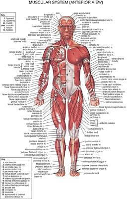"Human Body Anatomical Chart Muscular System Fabric poster 20"" x 13"" Decor 03"