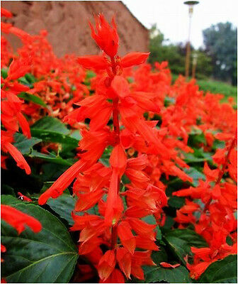 Red Scarlet Sage Seed 30 Seeds High Salvia Splendens Flower Garden Seed Hot A055
