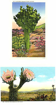 CA - CACTUS & CACTUS FLOWERS OF THE DESERT - Southern California 2 Vintage View