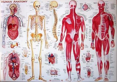 Human Anatomy Laminated Poster Chart Skeleton