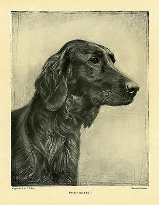 Vintage DOG ART Print - IRISH SETTER - by MALCOLM NICHOLSON 1935 - 80 Years Old