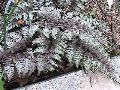 100 Japanese Painted Fern Spores/seeds REMARKABLE
