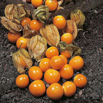 Cape Gooseberry (Physalis Peruviana)  0.3 Gram ~ 290 Seeds