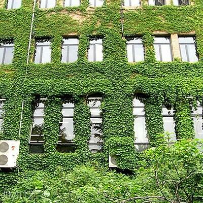 2 Bags Parthenocissus Wall Plant Climbing Planted Green Vitality Boston Ivy Seed