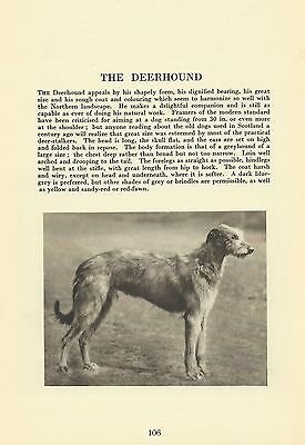 Scottish Deerhound - 1931 Vintage Dog Print - MATTED
