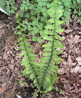 100 Sensitive Fern Spores Shade Companion Plant