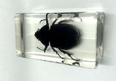 Collection Bugs Rhino Rhinoceros Beetle Insect In Resin