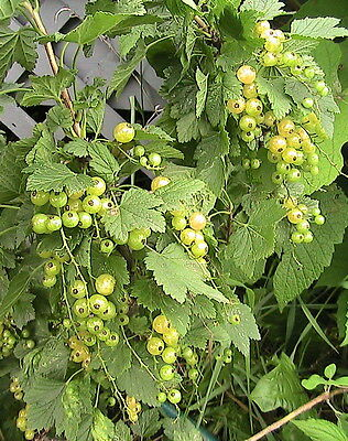 10 White Currant Seeds Champagne Berry Currant
