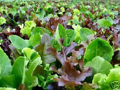 MESCLUN MIX *BULK* 1000+ seeds SALAD MIX vegetable garden BABY LEAF EASY TO GROW