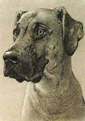 "Great Dane ""Uncropped"" Dog Print - 1976 Cozzaglio"