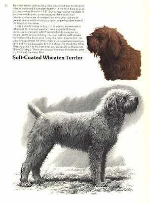 Soft Coated Wheaten Dog Print - 1976 Cozzaglio