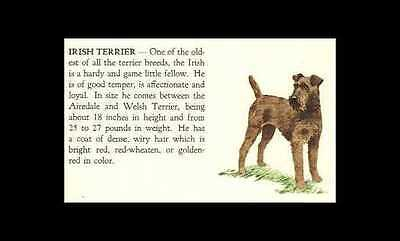 * Irish Terrier Vintage Dog Print - 1940 Cannon - Matted