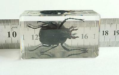 Long Arm Scarab Beetle Antlers beetle specimens Insect Specimen Clear Bottom NG