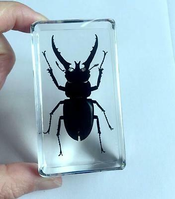 Insect Large Book Town Long Arm Scarab Beetle Specimen Clear Paperweight NG