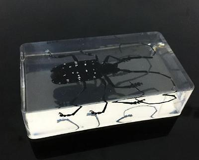 Insect Specimen Spotted Black Longhorn Beetle Anoplophora Clear Paperweight NG