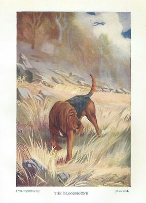 Bloodhound - 1931 Color Dog Print