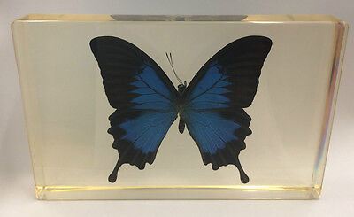 Ulysses Butterfly Paperweight - One of a Kind - Very RARE / Collectable / Unique