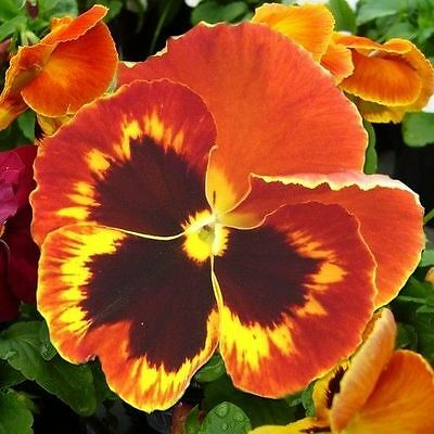 Flower Pansy Swiss Giant Flame 500 Finest Seeds
