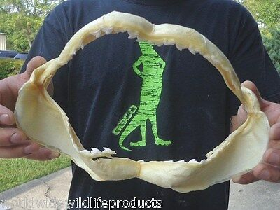 Real 10 inch Tiger Shark jaw teeth mouth real taxidermy # J-2559