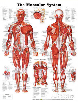 Muscular System Anatomical Chart Poster 20x26 Human Body Medical Science Anatomy