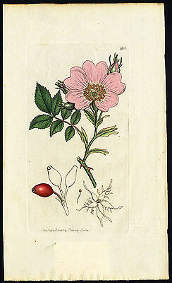 Antique Botany Print-COMMON DOG ROSE-Smith-Sowerby-1802