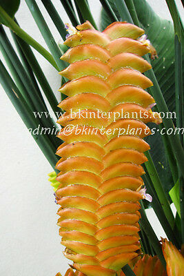 "HELICONIA ""ORANGE HUNDRED LEAF"" VERY RARE Nice Flower +Free Phyto Don't miss@"