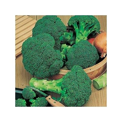 Organic Vegetable  Broccoli Calabrese Green Sprouting  280 Seeds **free Uk P&p**